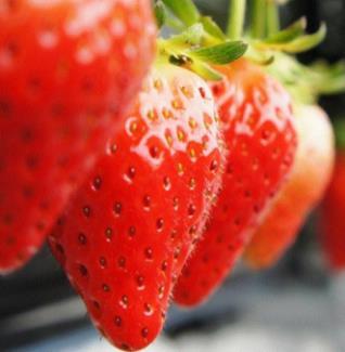 初遇草莓种植园